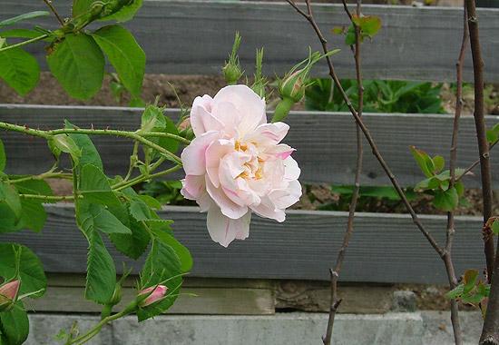 香りをつけて楽しむ、アロマディフューザータイプのブローチ 「breath of garden with essential-oil」の写真